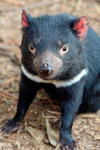 1000+ ideas about Tasmanian Devil on Pinterest.