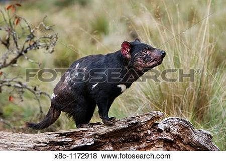 Pictures of The Tasmanian Devil Sarcophilus harrisii is the.