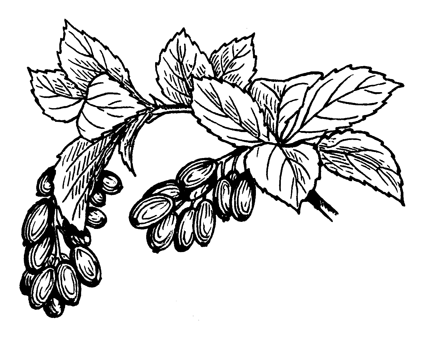 Date fruit clipart black and white.