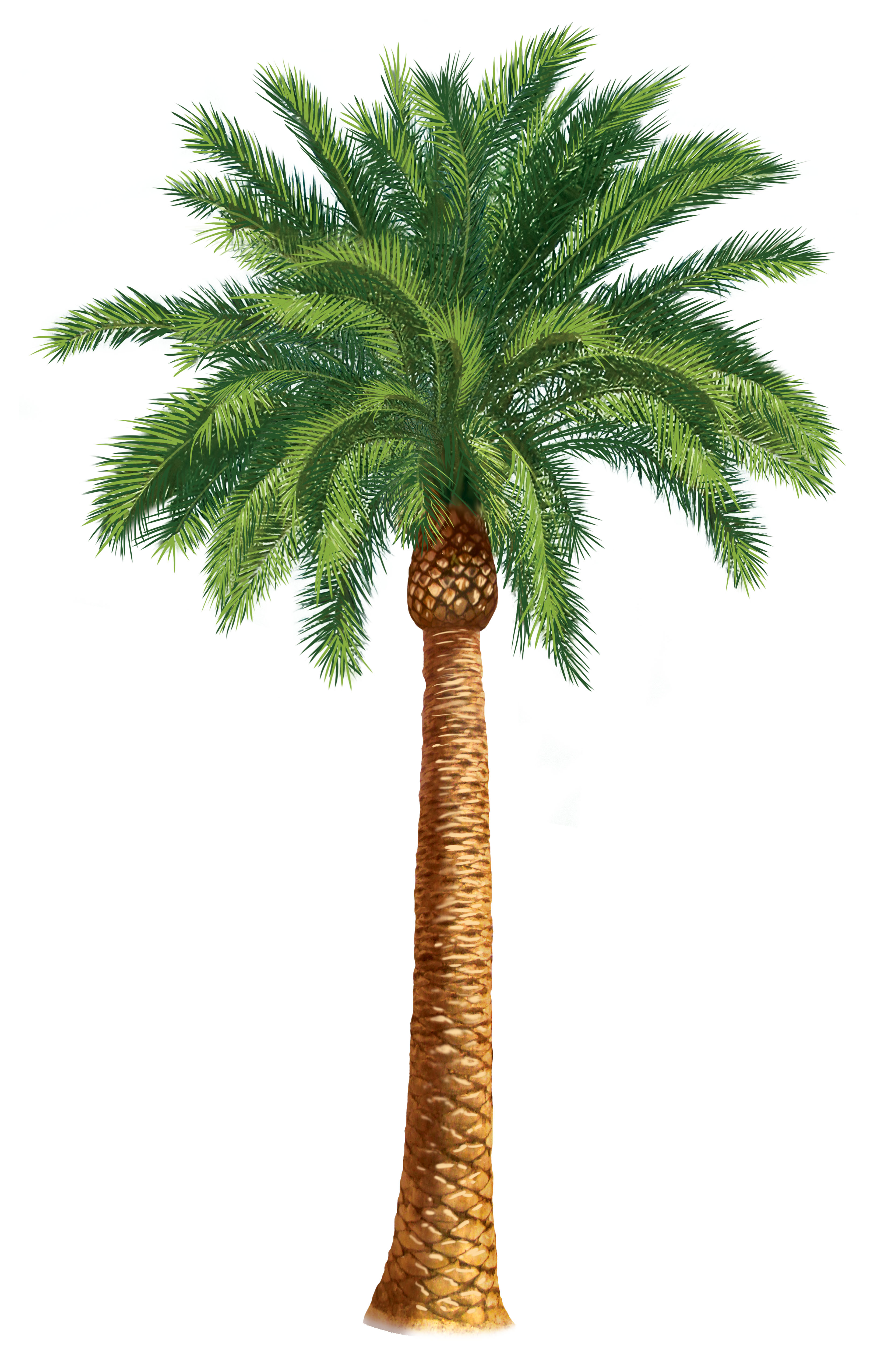 Palm genus clipart #4