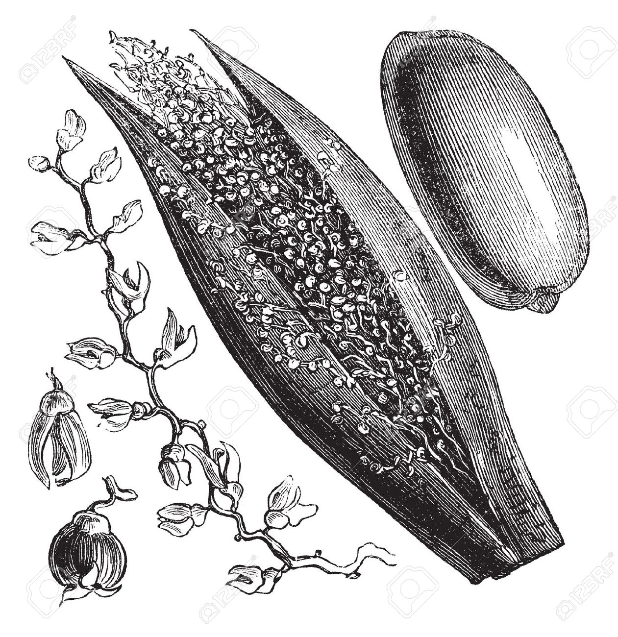 Date Palm Or Phoenix Dactylifera, Vintage Engraving. Old Engraved.