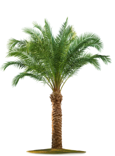 Download DATE PALM Free PNG transparent image and clipart.