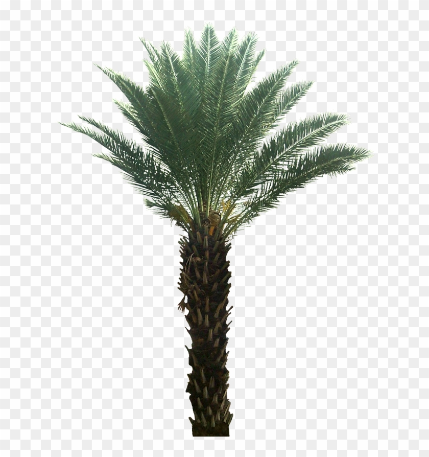 Pygmy Date Palm Png.