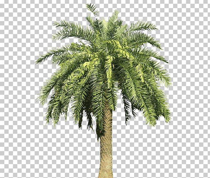 Arecaceae Canary Island Date Palm Tree PNG, Clipart, Arecaceae.