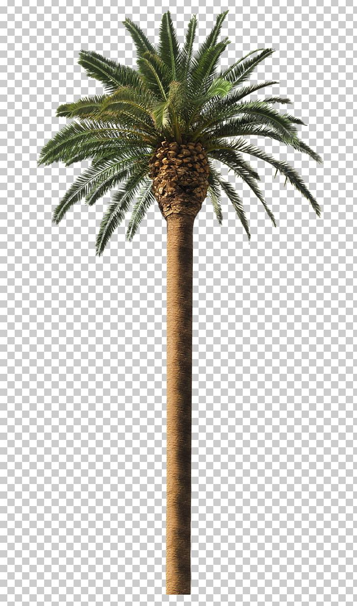 Date Palm Arecaceae Coconut Tree Frond PNG, Clipart, Arecaceae.