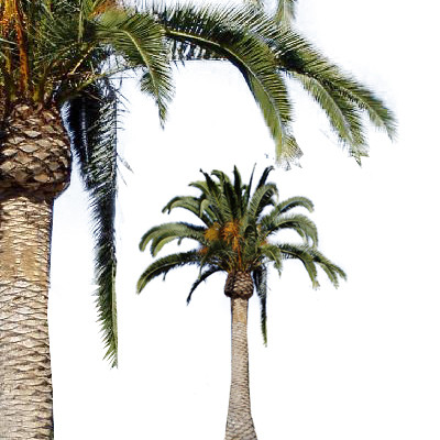 Download Free png Canary Island Date Palm.