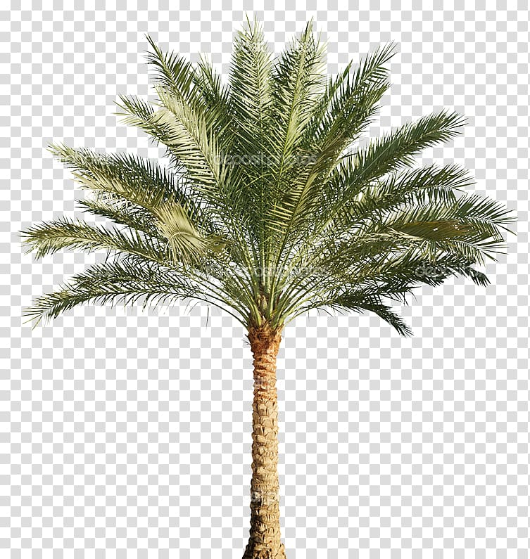 Arecaceae Tree Pygmy date palm, tree transparent background PNG.
