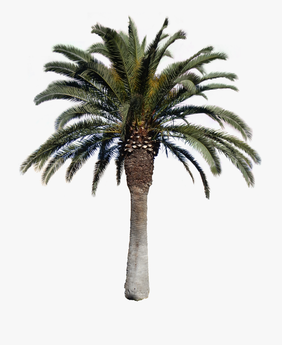 Png Palm Trees.