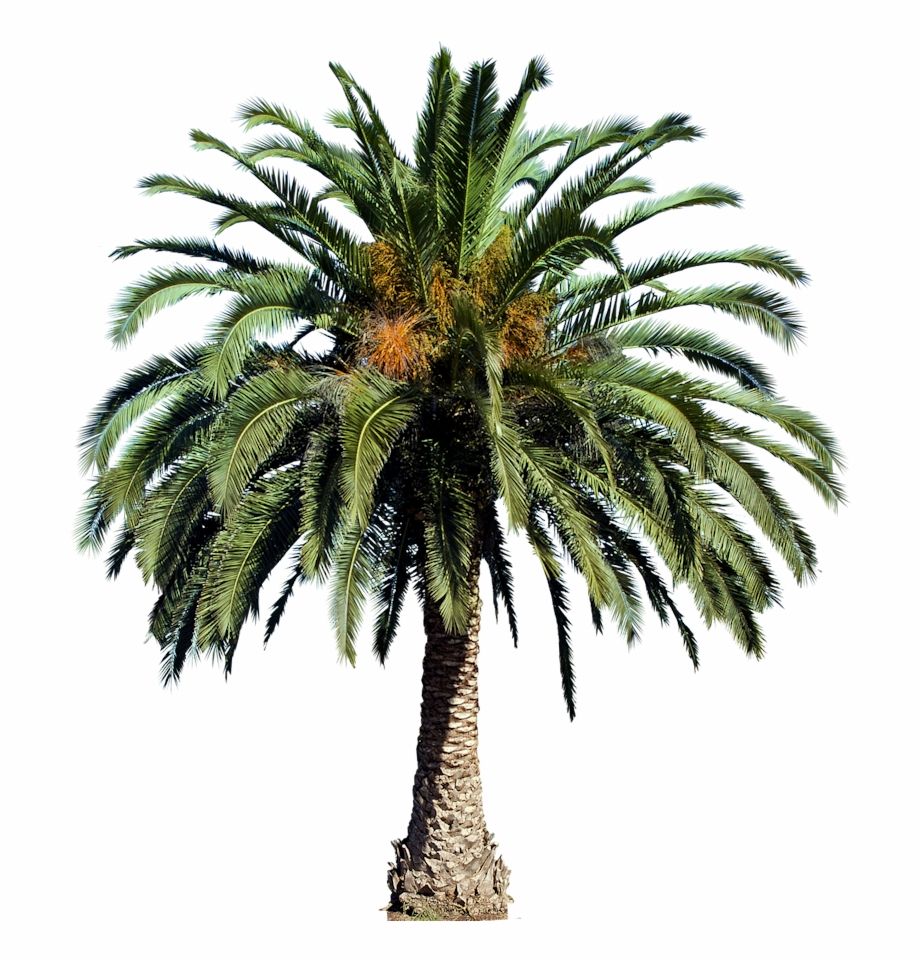 Plant Images, Plant Pictures, Palm Tree Png, Palm Trees,.