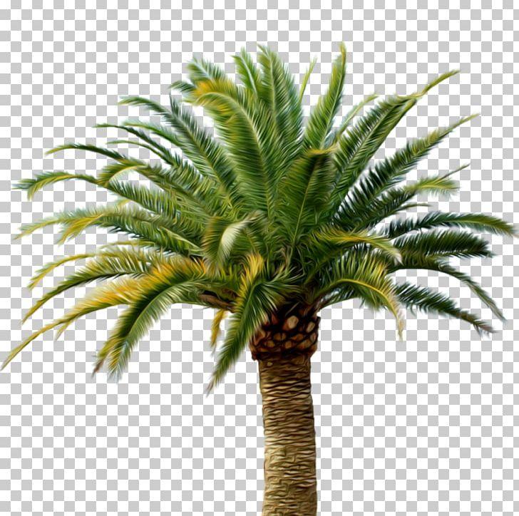 Babassu Arecaceae Date Palm Coconut PNG, Clipart, Arecaceae.