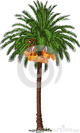 Date Palm Stock Photo.