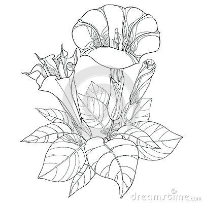 Flower Datura Stramonium Royalty Free Stock Photography.