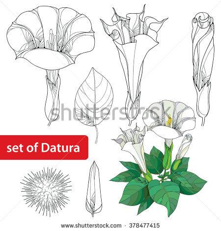 Datura Stramonium Stock Photos, Royalty.