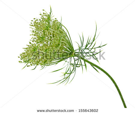 Queen Annes Lace Stock Photos, Royalty.