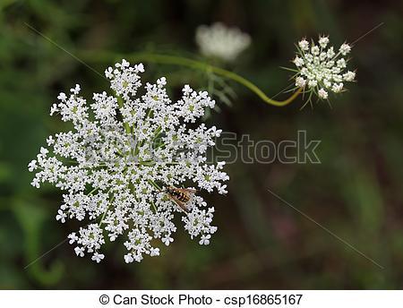 Stock Image of Daucus carota Wildflower.