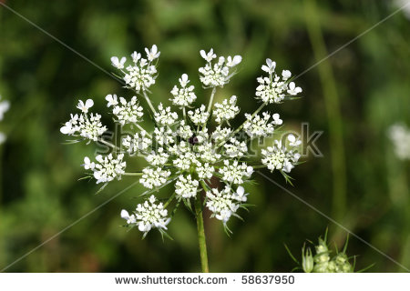 Daucus Carota Stock Images, Royalty.