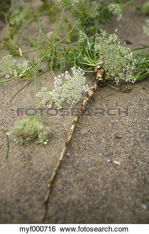 Stock Images of Blossoms and root of wild carrot, Daucus carota.