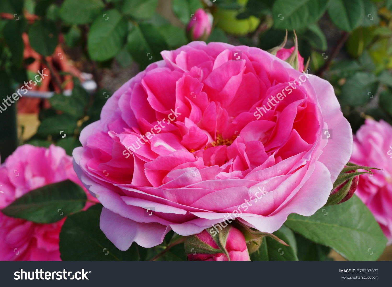 Fragrant David Austin Pink Rose Stock Photo 278307077.