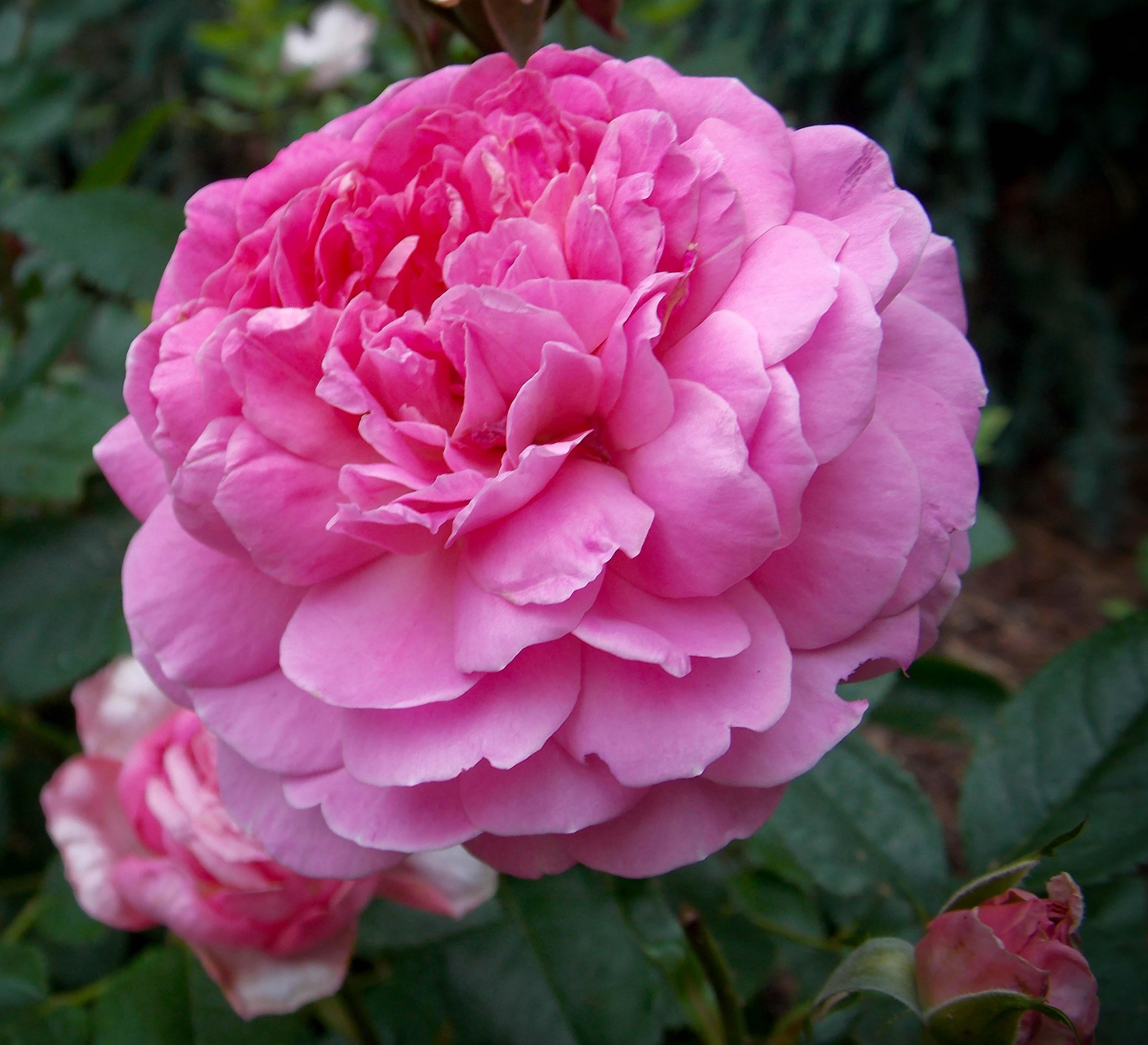 The Graceful Gardener » Kordes roses.