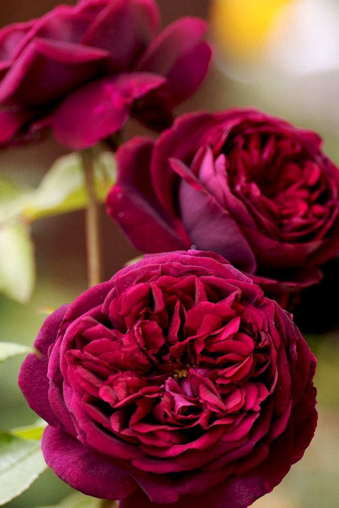1000+ ideas about Beautiful Rose Flowers on Pinterest.