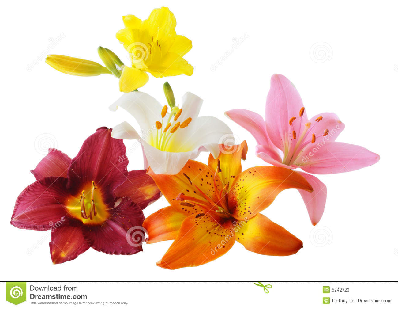 Lily And Daylily Stock Photo.