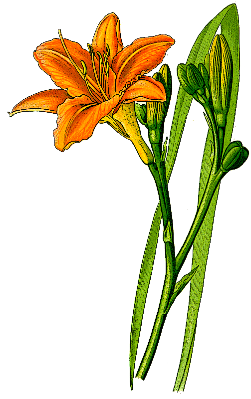 Orange Daylily Hemerocallis Fulva Clip Art Download.