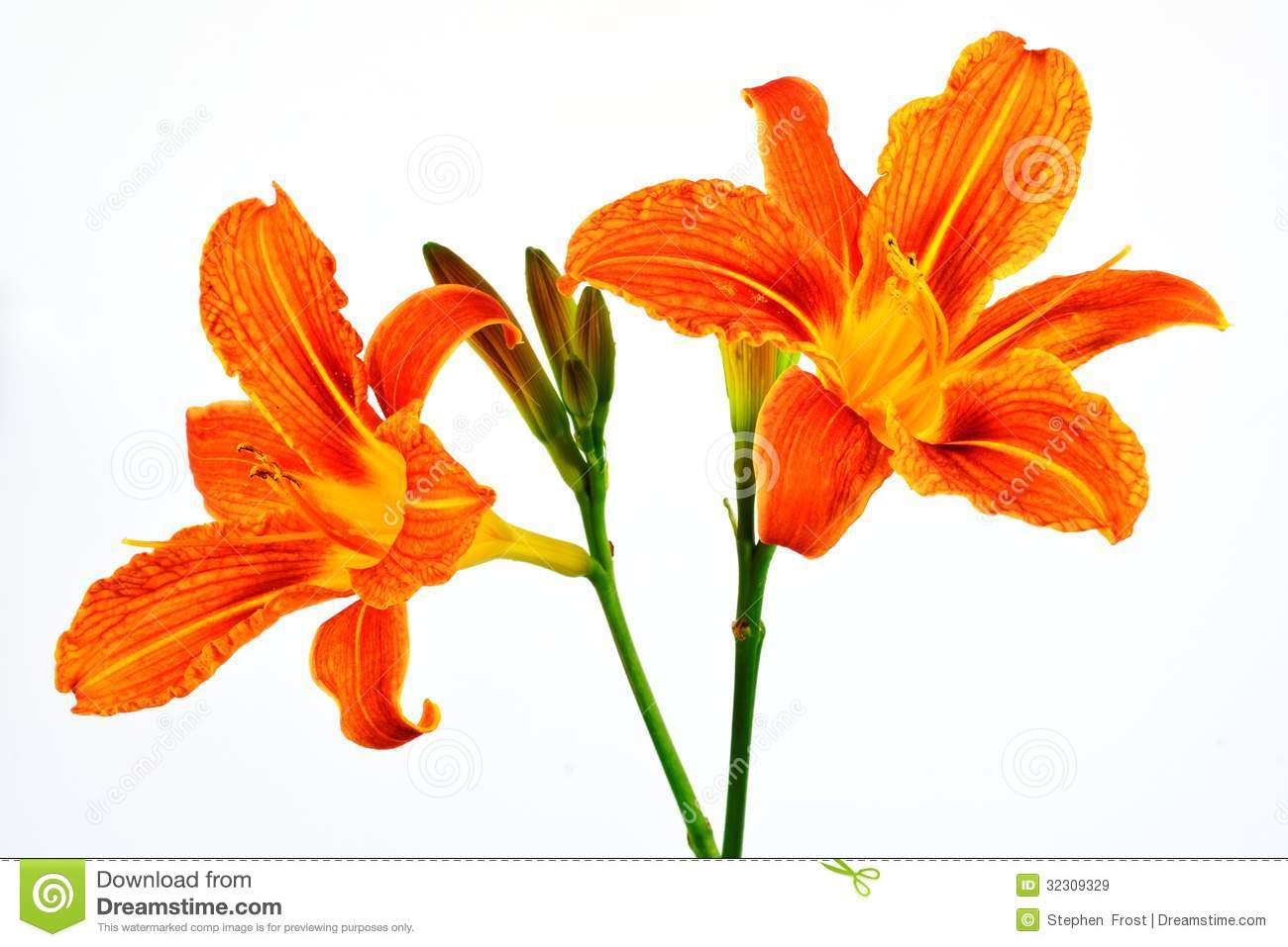 Orange Daylily Clip Art.
