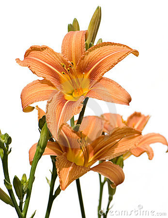 Wild Tiger Lily Stock Photos, Images, & Pictures.