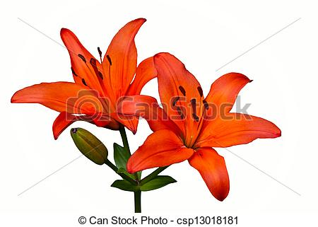 Pictures of Orange Tiger Lily flower isolated over white.
