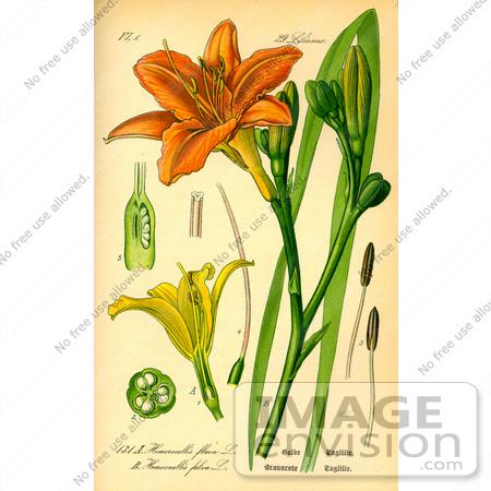 Picture of Orange Daylily, Tawny Daylily, Tiger Lily, Ditch Lily.