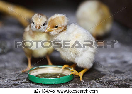Stock Image of Three day old chicks drinking water u27134745.