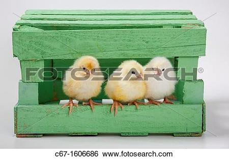 Stock Images of newly hatched Dayold Chicks in green box c67.