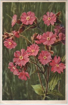Red carbon with stick on water colour paper. Red Campion.