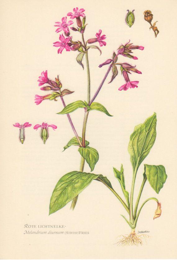 1000+ images about botanical illustration . herbarium . plants.