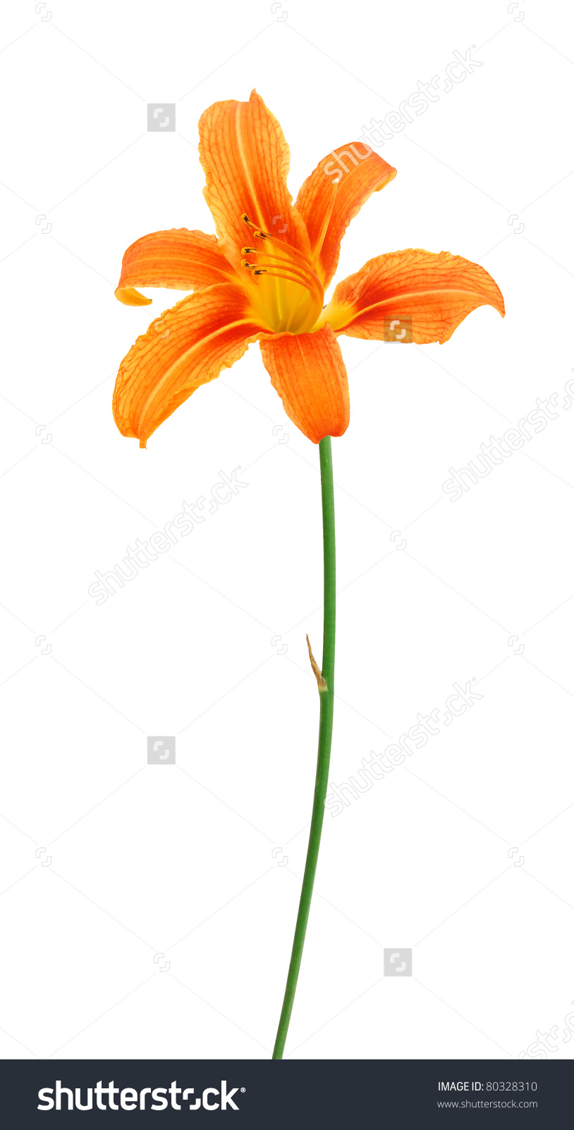 Day lily stem clipart.