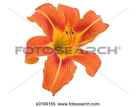 Stock Image of Orange Daylily Iso k0194155.