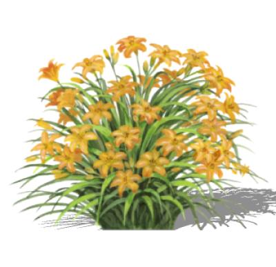 Hemerocallis Orange Daylily PNG.