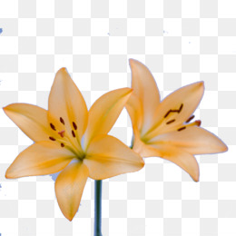 Daylily png free download.