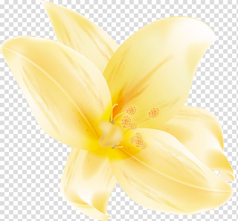 Yellow lily flower illustration, Lilium Hippeastrum Cut flowers.