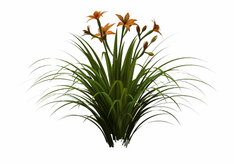 Daylily Png, Transparent Png Download For Free #4576699.