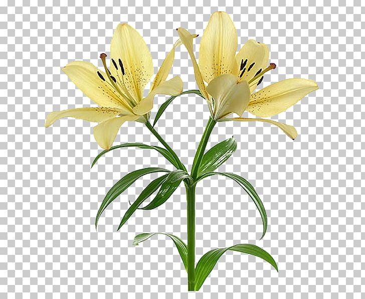 Flower Arum.