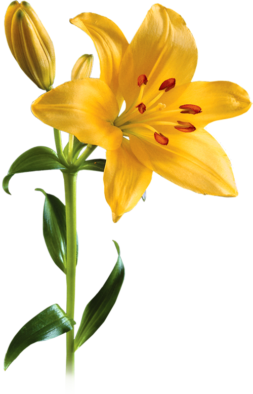 Daylily PNG Images.