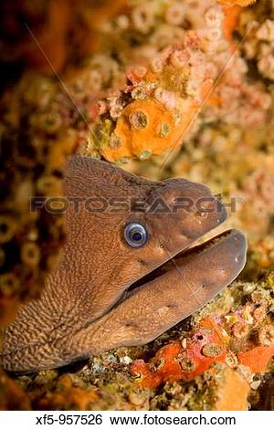 Stock Images of Moray eel, morena, Cabo Cope.