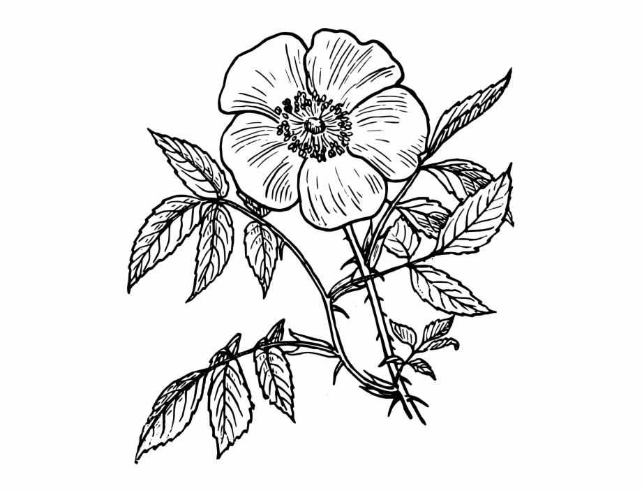 Eglantine Rose Png Clip Art.