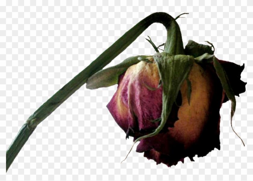 Transparent Dead Flower Clipart , Png Download.