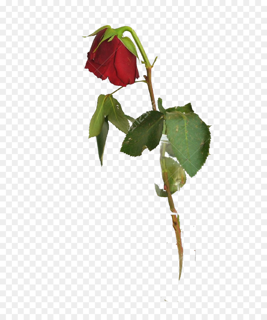 Rose Petal clipart.
