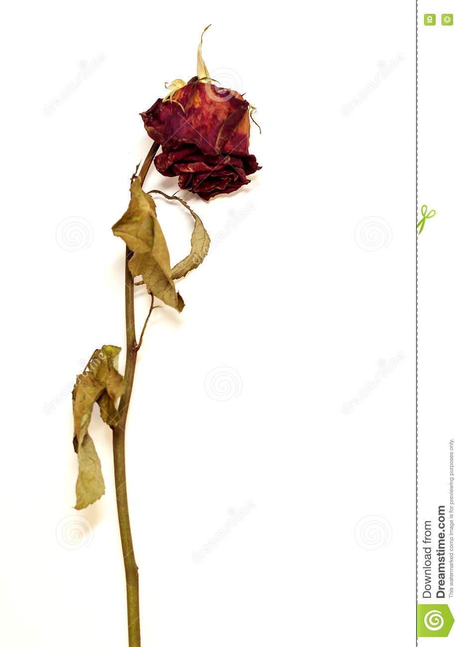 Dead rose clipart 2 » Clipart Portal.