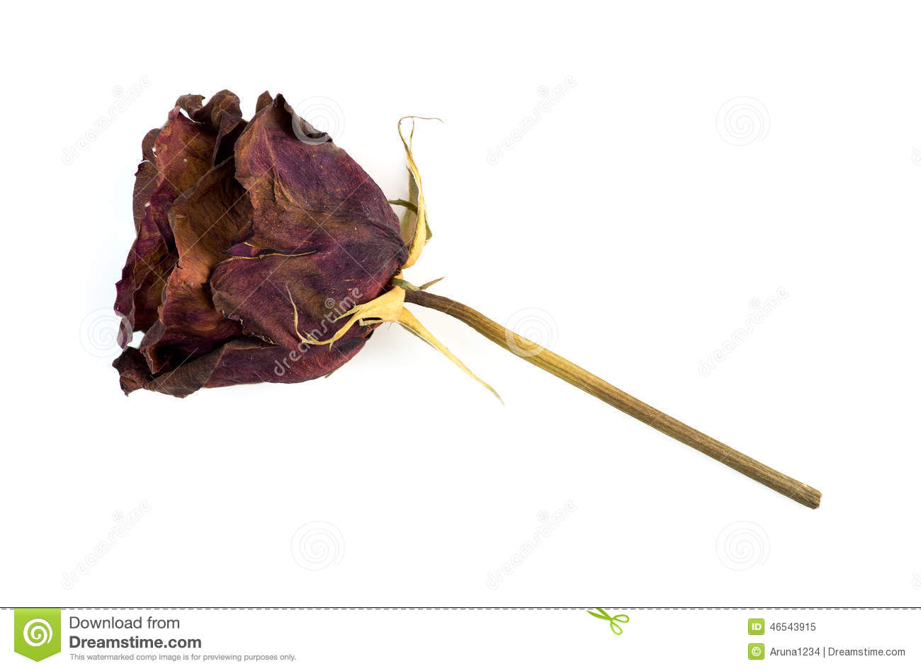 Single Dead Dried Rose Flower Isolated On White Stock Image.