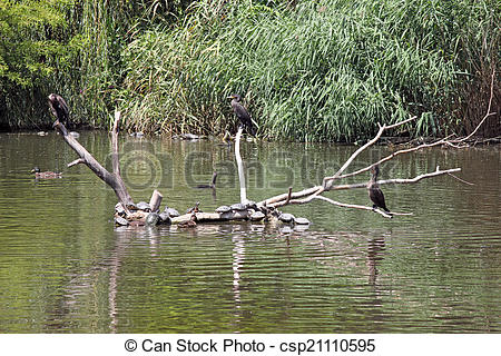 Stock Photographs of cormorant birds standing on dead tree in lake.