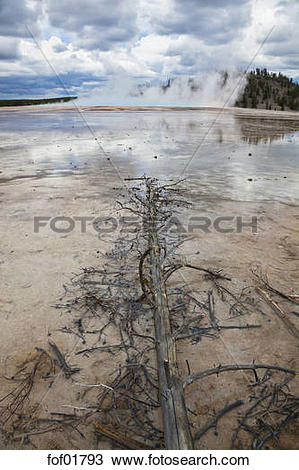 Stock Photo of USA, Wyoming, Grand Prismatic Spring, dead tree in.